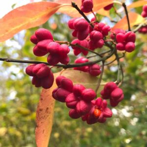 Spindle Hedging is an ideal plant for mixing into Native Hedges