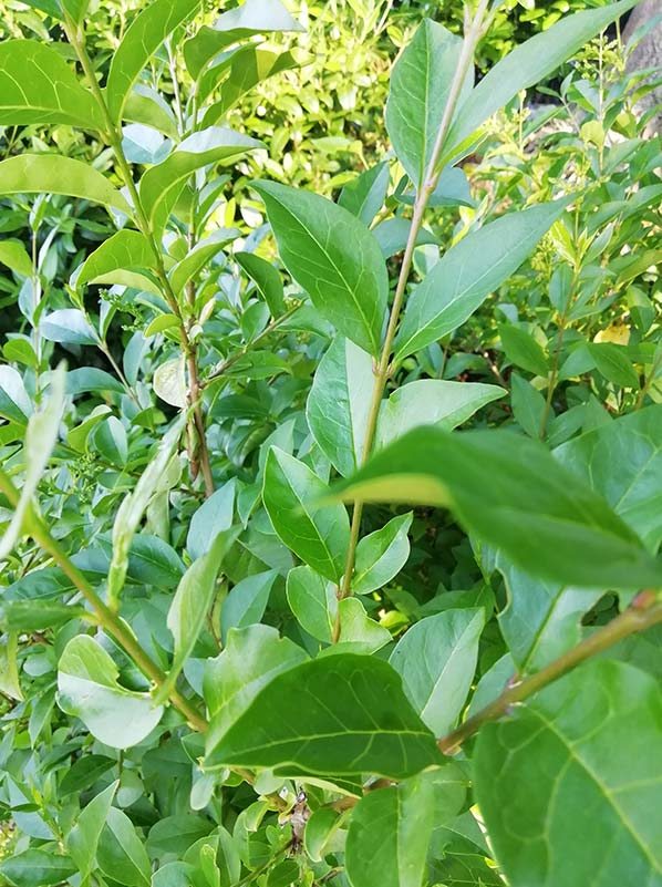 Green Privet Hedge plants are incredibly hardy plants