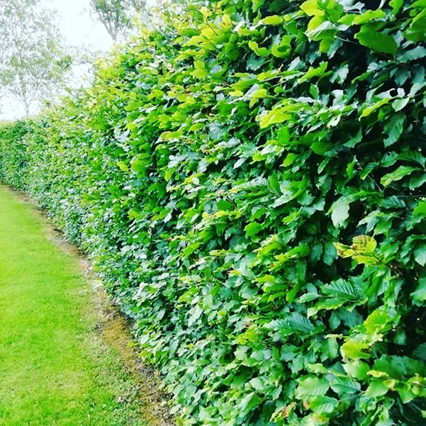 A Green Beech Hedge is a very common hedging plant suited to Irish Climates