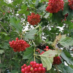 Guelder Rose plants can be mixed through native hedges