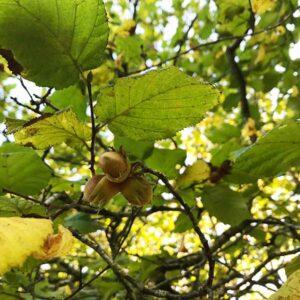 Hazel plants produce hazelnuts as the plant matures.