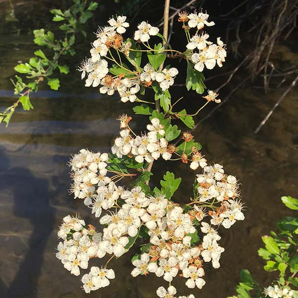 Whitethorn hedge flowers in May and produces berries in Autumn