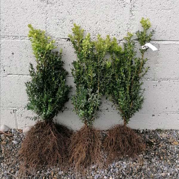 Box-hedging-plants