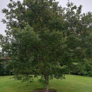 Oak-tree-online