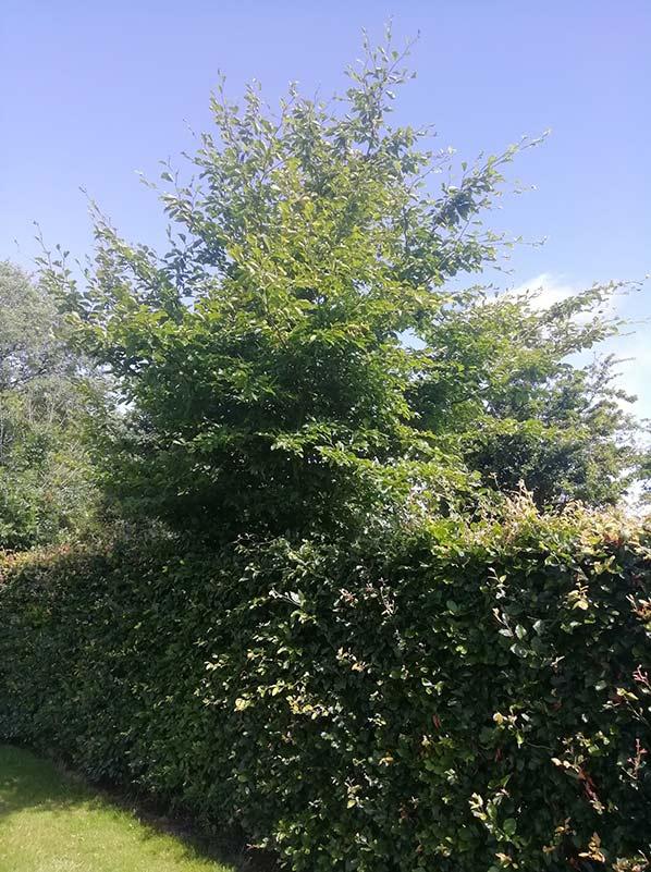 Green-beech-tree