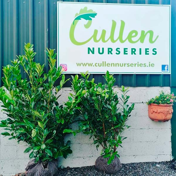 Mature Laurel Hedging plants available from 4ft upwards