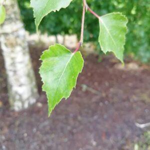 Silver-birch-tree