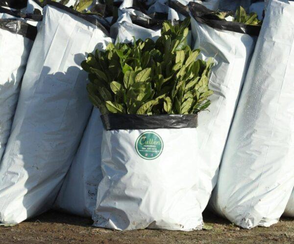 laurel hedging plants