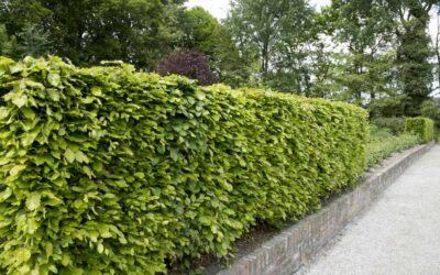 A Guide to Garden Hedge Maintenance