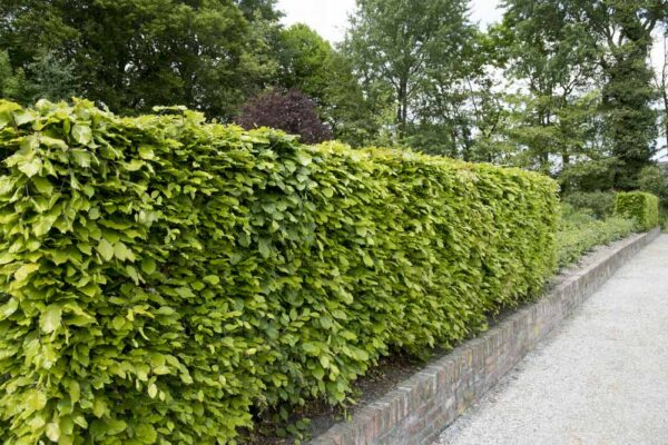 Green Beech Hedging responds well to pruning and trimming